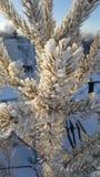 Запачканная голубая предпосылка украшенная при ветви сосны покрытые с кристаллами изморози Замороженные иглы ели покрытые с стоковое фото rf