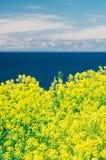 Запачканная предпосылка сурепки или рапса цветет против моря и стоковое фото