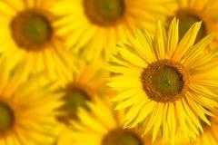 Предпосылка солнцецвета Стоковые Изображения
