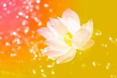 Запачканная светлая предпосылка цветка лотоса Стоковые Фотографии RF