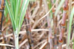Запачканные плантации сахарного тростника обрабатывают землю для предпосылки, предпосылки нерезкости сахарного тростника поля тро Стоковое фото RF