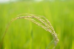 Запачканные предпосылки природы с полем неочищенных рисов Стоковое Изображение RF