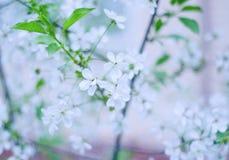 Запачканные цветки вишневого дерева Стоковое Изображение