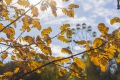 Запачканный ландшафт предпосылки, желтый дуб выходит в Central Park Стоковые Фото