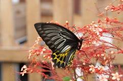запачканный бабочки всасывая нектар от тычинки красного цвета шипа цветка Стоковые Фотографии RF