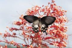запачканный бабочки всасывая нектар от тычинки красного цвета шипа цветка Стоковая Фотография