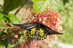 запачканный бабочки всасывая нектар от тычинки красного цвета шипа цветка Стоковое фото RF