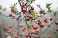 запачканный ландшафт предпосылки с листьями желтого цвета и красными ягодами в осени Стоковые Изображения
