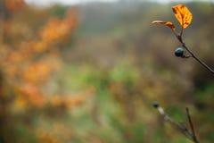 запачканный ландшафт предпосылки с листьями желтого цвета и черными ягодами в осени Стоковые Изображения RF