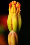 запачканный предпосылкой помеец цветка сверх Стоковое Изображение RF