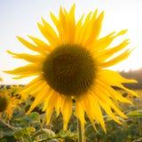 Солнцецвет на поле Стоковые Изображения RF