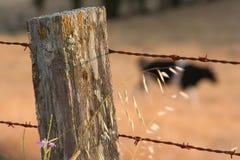 запачканный столб загородки коровы крупного плана Стоковое Фото