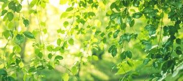 Запачканный bokeh лист в предпосылке утра сада, лето весны стоковые изображения rf