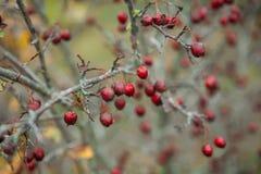 запачканный defocused ландшафт предпосылки с листьями желтого цвета и красными ягодами в осени Стоковые Изображения RF