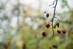 запачканный defocused ландшафт предпосылки с листьями желтого цвета и красными ягодами в осени Стоковые Фотографии RF