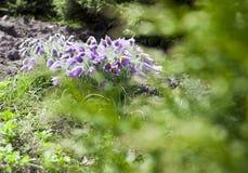 запачканный Pasque-цветок Стоковые Изображения RF
