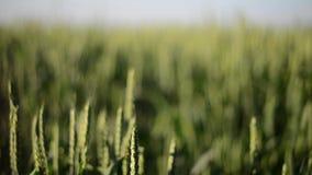 Запачкать и Unblurring пшеничного поля акции видеоматериалы