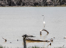 Западная Австралия: Цапля большой белизны Стоковые Изображения RF