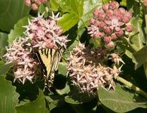 Западная бабочка Swallowtail тигра на общем цветке Milkweed Стоковые Изображения