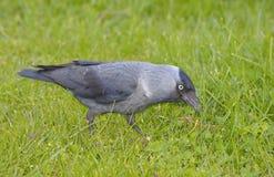 Западная галка (monedula Corvus) Стоковая Фотография RF