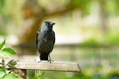 Западная галка (monedula Corvus) Стоковые Изображения RF
