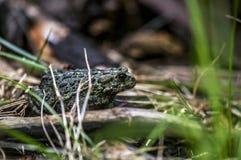 Западная жаба Стоковые Изображения