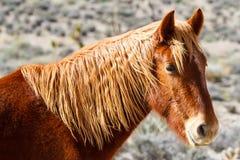 Западная дикая лошадь Стоковое Изображение
