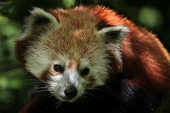 Западная красная панда (fulgens fulgens Ailurus) стоковое изображение rf