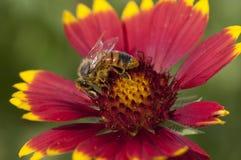 Западная пчела меда собирая цветень Стоковая Фотография RF