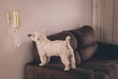 Западная собака Terrie ждать звонок Стоковая Фотография RF