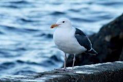 Западная чайка на острове Каталины Стоковое Изображение RF