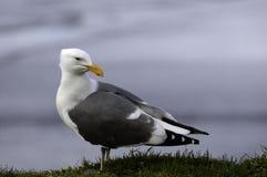 Западная чайка смотря назад стоковое фото