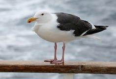 Западная чайка чайки на шлюпке стоковые фото