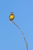 Западное Meadowlark на ветви Стоковые Фото