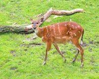 Западное Sitatunga есть траву Стоковые Фото