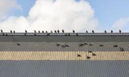 Западные галки на крыше Стоковые Фото