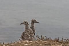 Западные цыпленоки чайки Стоковое Фото