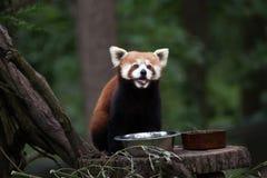 Западные fulgens fulgens Ailurus красной панды стоковое фото rf