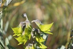 Западный австралийский эндемичный зеленый цветок птицы Стоковая Фотография