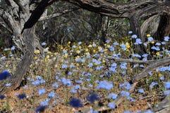 Западный австралийский wildflower Стоковые Изображения RF