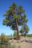 Западный можжевельник (occidentalis Juniperus) Стоковое фото RF