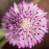 Западный пинк макроса mulla mulla wildflower Австралии родной Стоковое Фото