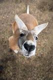 Западный серый кенгуру (fuliginosus Macropus) в Австралии Стоковые Изображения RF
