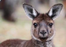 Западный серый кенгуру (fuliginosus Macropus) Стоковое фото RF