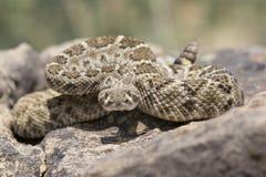 Западный с ромбовидным рисунком на спине Rattlesnake готовый для того чтобы поразить Стоковое Фото