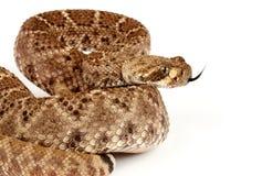 Западный с ромбовидным рисунком на спине Rattlesnake на белой предпосылке Стоковое Фото