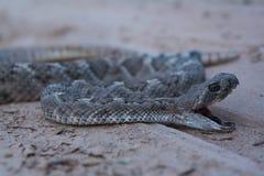 Западный с ромбовидным рисунком на спине Rattlesnake Стоковые Изображения