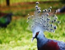 Западный увенчанный голубь & x28; общее увенчало голубя или синь увенчала pigeon& x29; стоковое фото rf