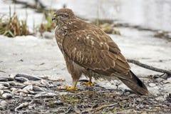 Западный харриер болотоа Стоковая Фотография RF