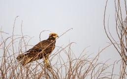 Западный харриер болота Стоковая Фотография RF